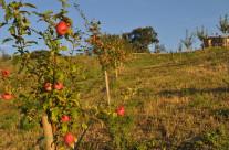 mela rosa fragola