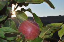 mela rosa marchigiana