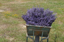 lavanda in carriola..