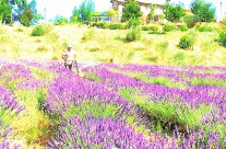 lavanda finishing-touch
